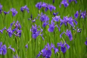 緑の葉に紫の花が映えるカキツバタ(京都市北区・大田神社)