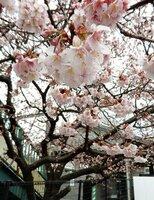 例年より早く見ごろを迎えている早咲きのサクラ(京都市伏見区・JR桃山駅前)