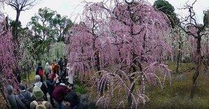 満開になり、神苑を紅白に彩る150本のしだれ梅(京都市伏見区・城南宮)