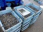 出荷に向けて籠に詰められたアサリの稚貝(宮津市溝尻)=府海洋センター提供