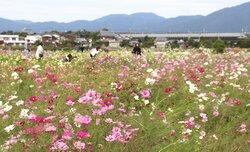 一面に800万本のコスモス 京都・亀岡で見頃
