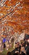 紅葉の木々、イルミネーションで幻想的に 86万個電球で彩る