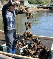 養殖棚から引き揚げてきたカキ。例年よりカキの量が少ないという(京都府京丹後市久美浜町)