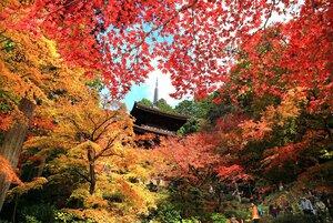 「血染めの紅葉」が見頃を迎え、深紅やオレンジに染まる金剛輪寺の三重塔一帯(滋賀県愛荘町松尾寺)