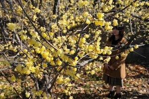 鮮やかな黄色の花を咲かせたソシンロウバイ(城陽市市辺)[LF]