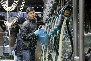 冷え込みが強まる日暮れ時、搾乳作業に励むインドネシア人技能実習生のインドラさん(滋賀県高島市朽木・宝牧場)