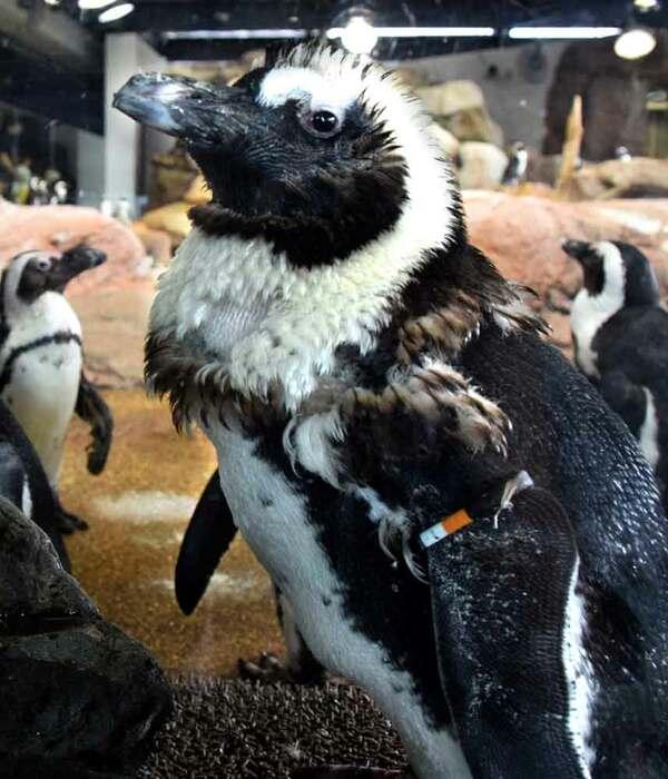 換羽を迎え、たてがみのように毛が逆立ったケープペンギン(京都市下京区・京都水族館)