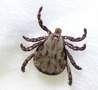 虫媒介の感染症防ぐには SFTSや紅斑熱、マダニ吸血時は取らず受診を