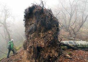 根返りして倒れたブナ。土ごとめくれた根が壁のように立ちふさがる(12月5日、高島市朽木桑原と南丹市美山町芦生の府県境)