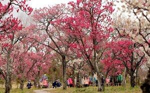 陽気で満開になった紅白の梅(20日午後1時53分、京都市下京区・梅小路公園)
