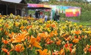 ユリの大輪が花開き、高島ちぢみの飾りとともに山上を彩る(高島市今津町・びわこ箱館山ゆり園)