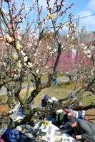 紅白の梅が咲き始めた「青谷梅林」のまつり会場(城陽市中)