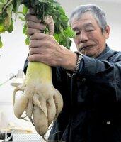 黒川さんが収穫した「7本足」のダイコン(城陽市役所)