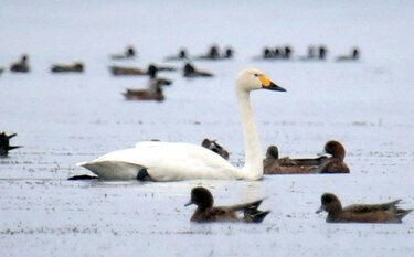 琵琶湖に冬の使者 コハクチョウが今季初飛来