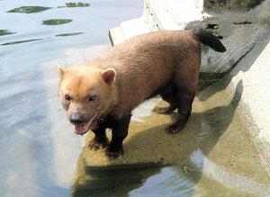 【資料写真】子宮破裂で死亡したヤブイヌのパパヤ(京都市動物園提供)