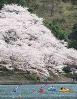 満開を迎えた海津大崎の桜。湖上からカヌーで花見を楽しむ人も見られた(高島市マキノ町海津)