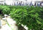 両容疑者が栽培していたとされる大麻(滋賀県警提供)