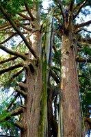 樹木医が2本の幹をロープで固定した朝倉神社の大スギ(京都府南丹市園部町千妻)