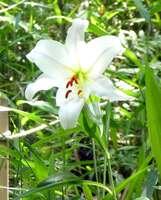 森の散策道沿いで開花したササユリ(滋賀県甲賀市水口町・みなくち子どもの森)