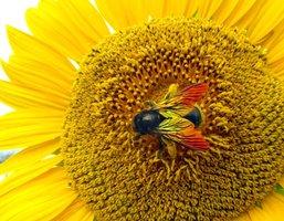 鮮やかな色の羽をしたハチ。タイワンタケクマバチとみられる(京都府向日市物集女町)=読者提供
