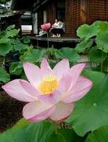 大輪の花を咲かせたハスを楽しむ参拝者(京都市右京区)