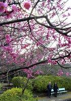 早咲きの梅を楽しむ参拝者(12日午後2時25分、京都市右京区・梅宮大社)