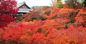 ピークを迎え境内を鮮やかに彩る紅葉(22日、京都市東山区・東福寺)