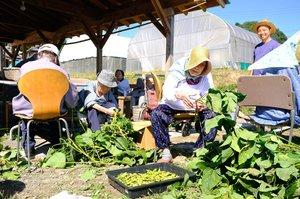 枝豆の収穫をするデイサービスの利用者ら(京丹波町富田)