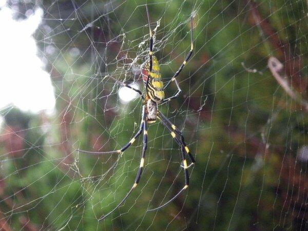 網にとまる秋の女王ジョロウグモ