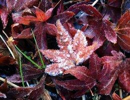 河川敷に散ったモミジの葉に降りた霜(11日午前8時ごろ、京都市北区西賀茂・鴨川河川敷)