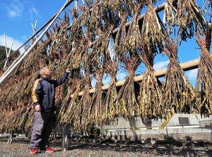晴れ渡った冬空の下、天日干しされるコウゾの皮の束(福知山市大江町二俣・田中製紙工業所)