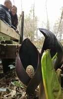 手のひらを合わせたような仏炎包の中から黄色い花序をのぞかせるザゼンソウ(高島市今津町弘川)